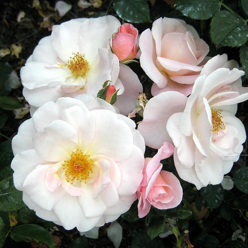 Розы Сассекс