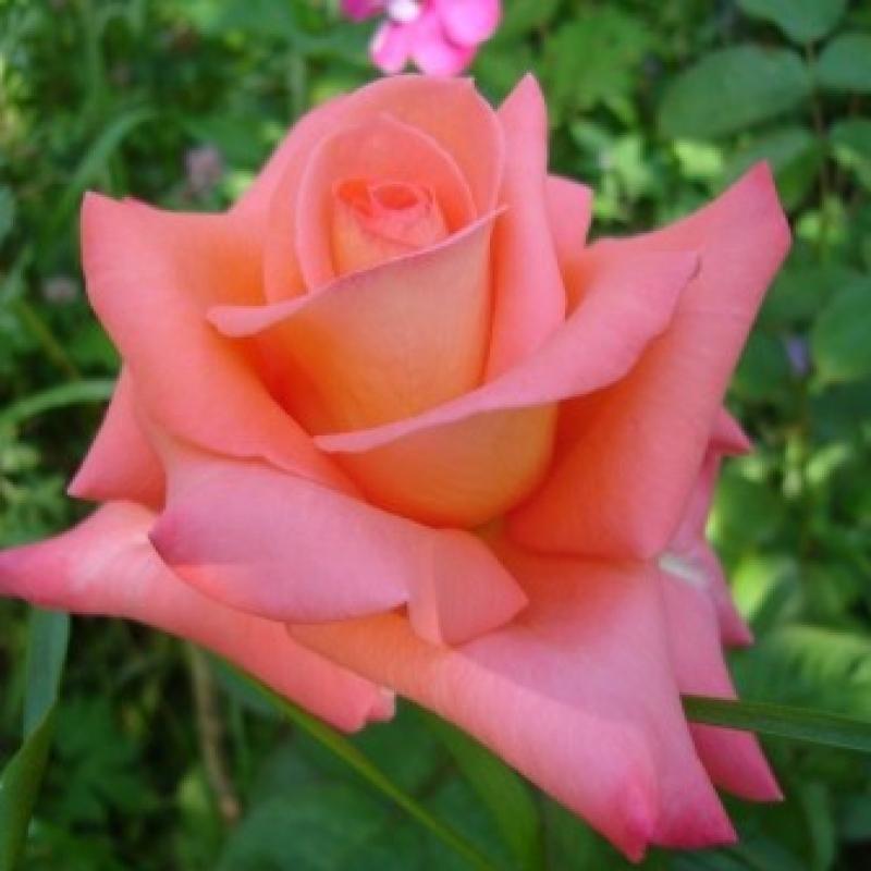 Розы Лас Вегас