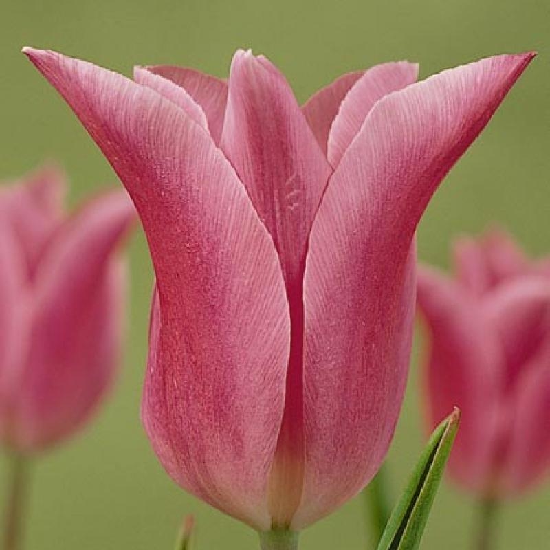 Тюльпаны Вирили Пинк
