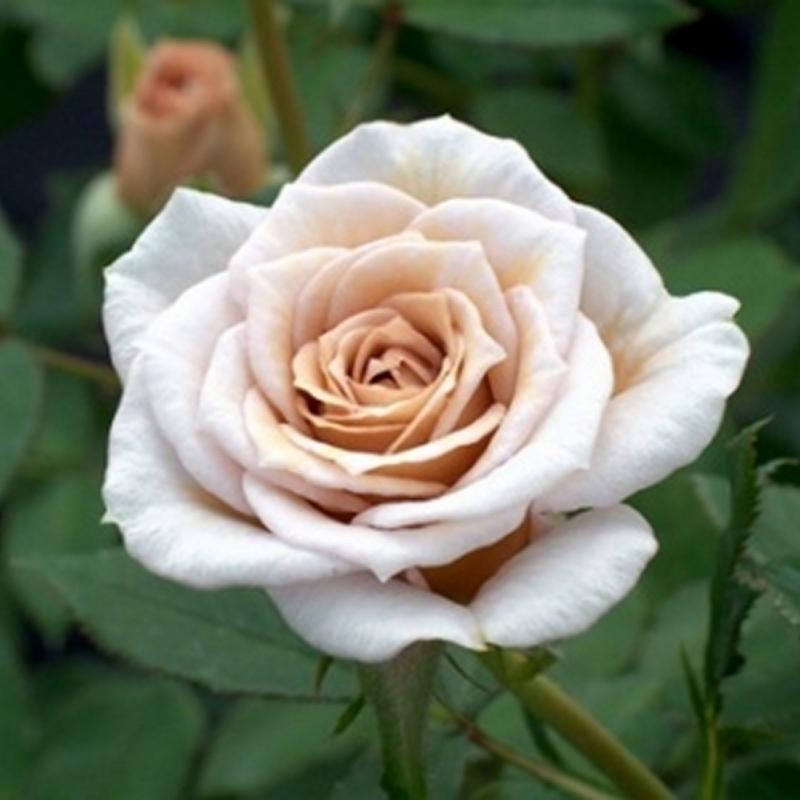 Розы Кафе Оле