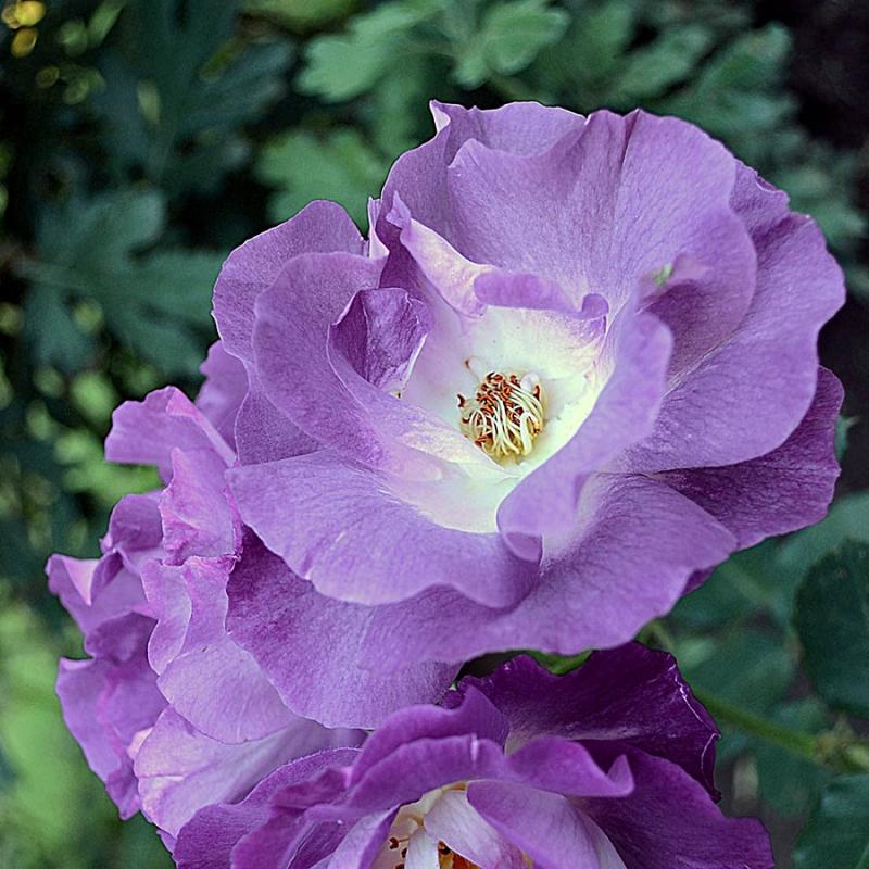 Розы Блю фор Ю