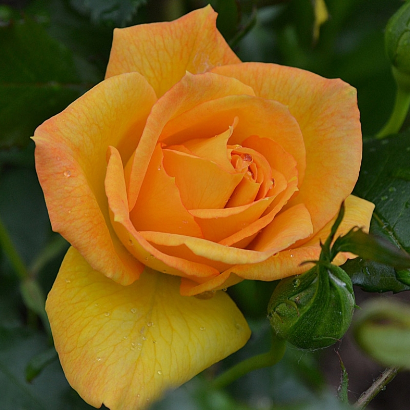 Розы Сахара