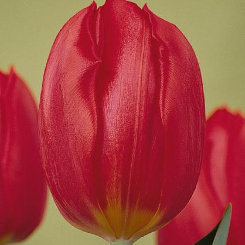 Тюльпаны Бернинг Лав