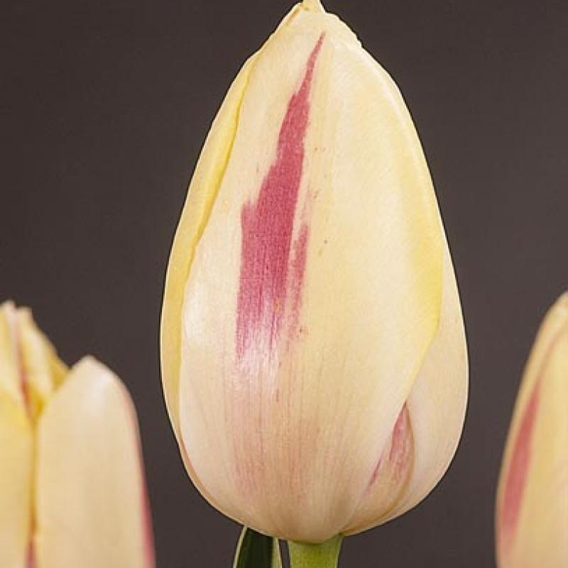 Тюльпаны Камаргуе