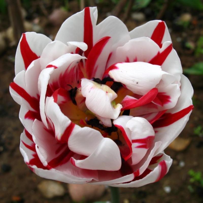 Тюльпаны Карнавал в Ницце
