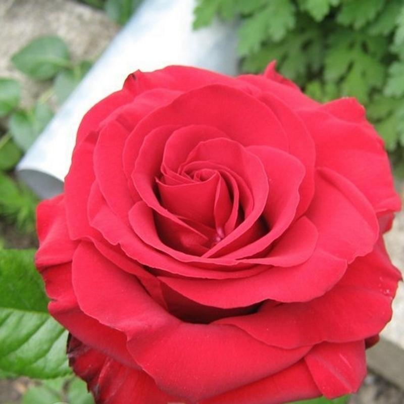 Розы Мадам Делбард