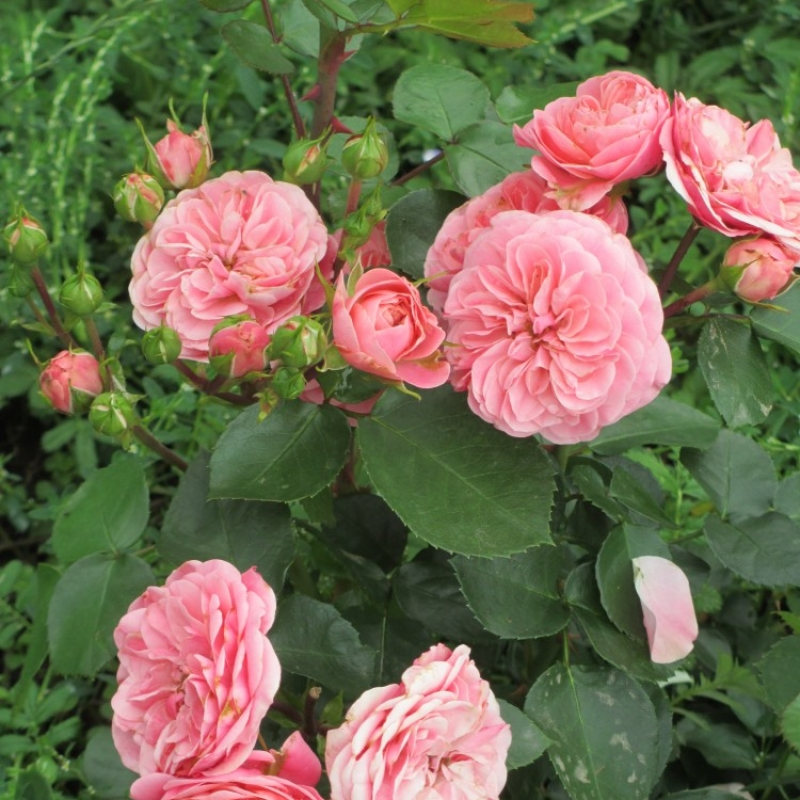 Розы Баиландо