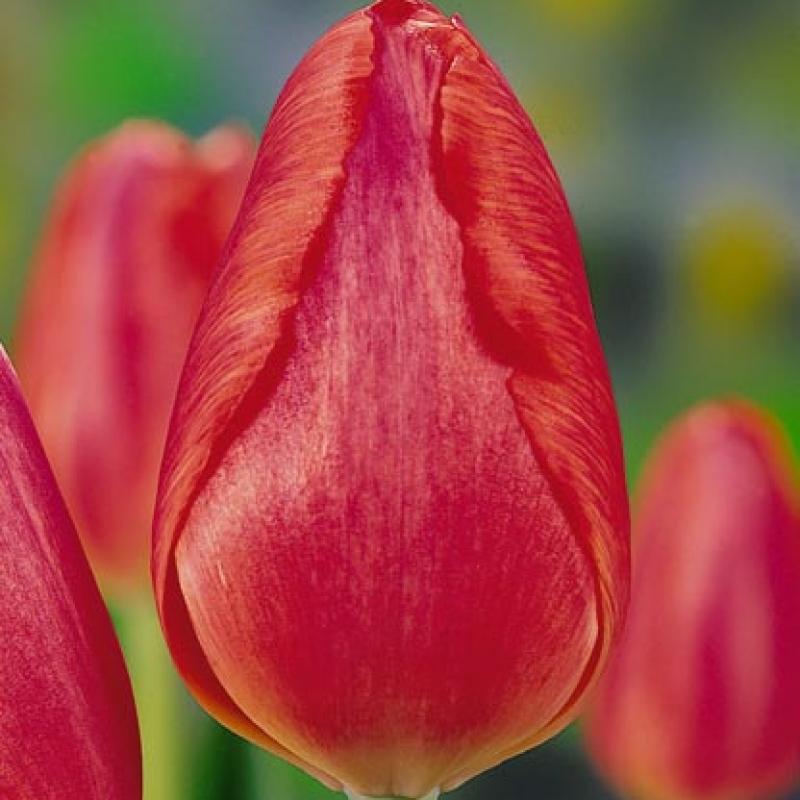 Тюльпаны Ниндзя