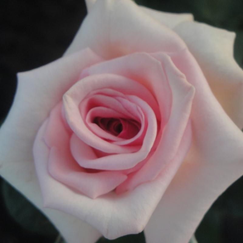 Розы Белмонте