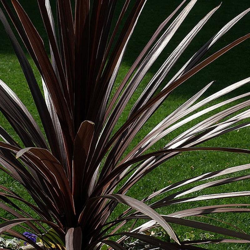 Комнатные растения Кордилина