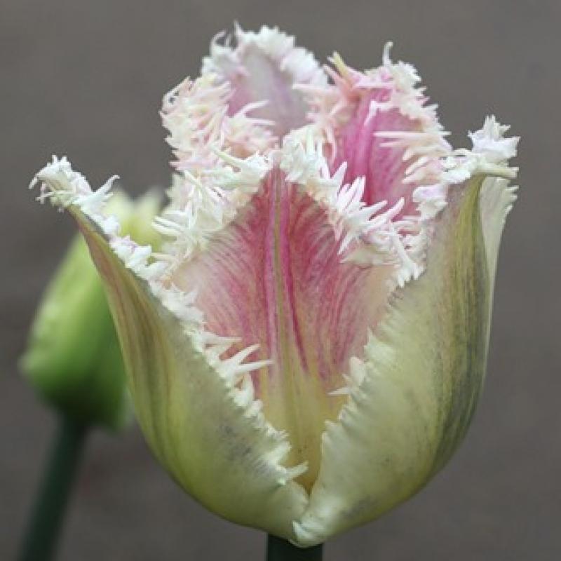 Тюльпаны Овиедо