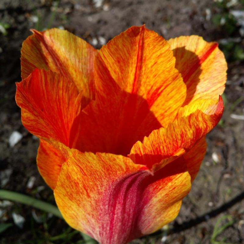 Тюльпаны Эль Нино