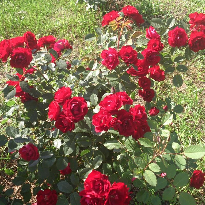 Les roses Delft Blue