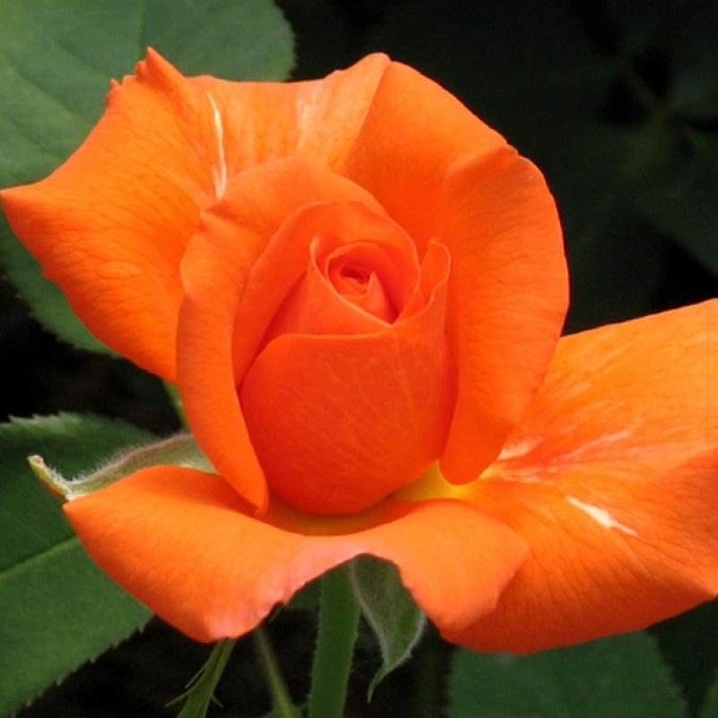 Розы Теа Тайм