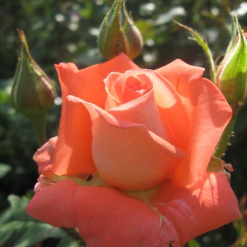 Розы Аве Мария