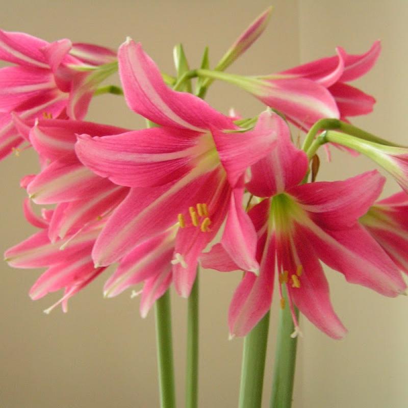 Hippeastrum pink floyd varietes culture et taille for Hippeastrum entretien