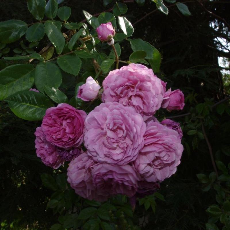Розы Шуберт