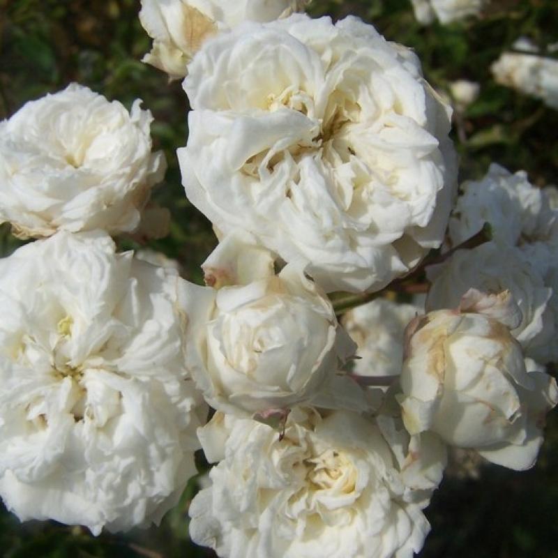 Розы Дениз Кассегрейн