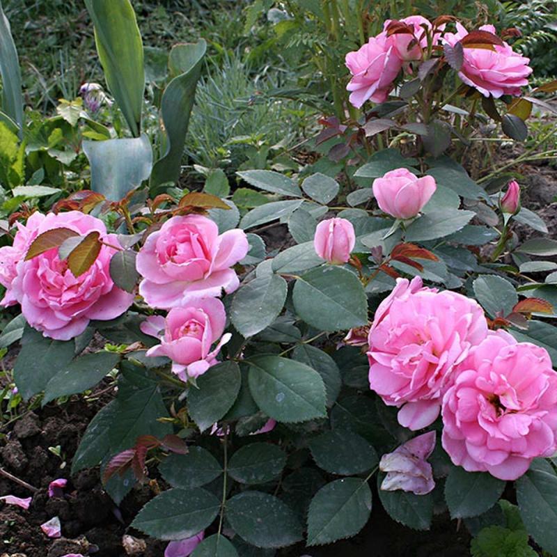 Розы Прери Джой