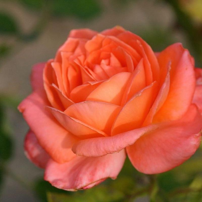 Розы Сишелл