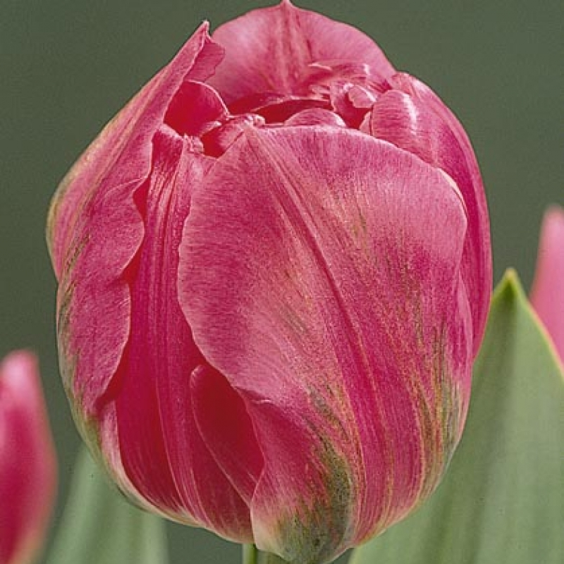 Тюльпаны Даладьер