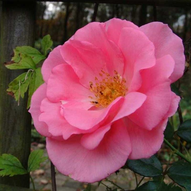 Розы Бэнтри Бэй