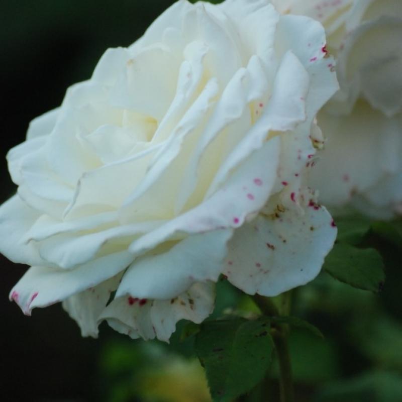 Розы Мемори