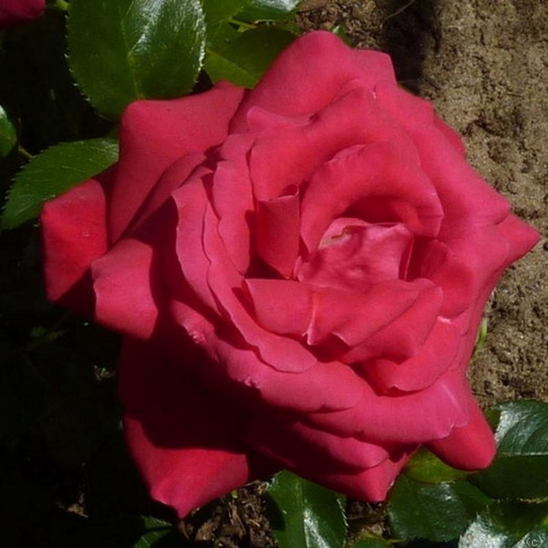 Розы Ле Гранд Хит
