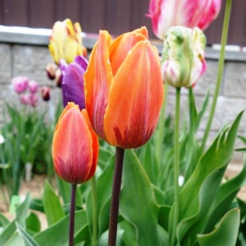 Тюльпаны Принцесс Ирен