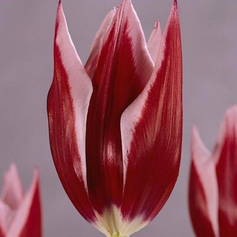 Тюльпаны Райка