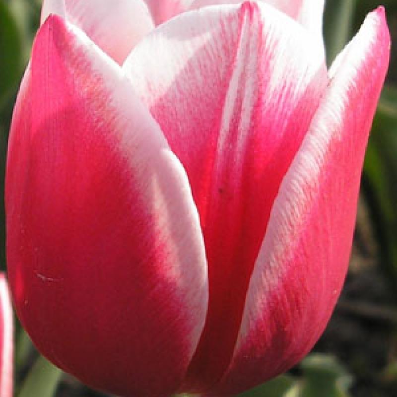 Тюльпаны Люстиг Витве