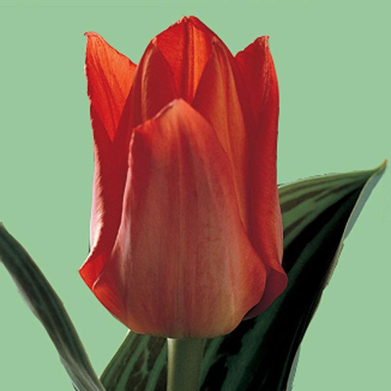 Тюльпаны Дабл Ред Ридингхуд