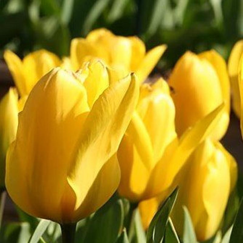 Тюльпаны Кандела