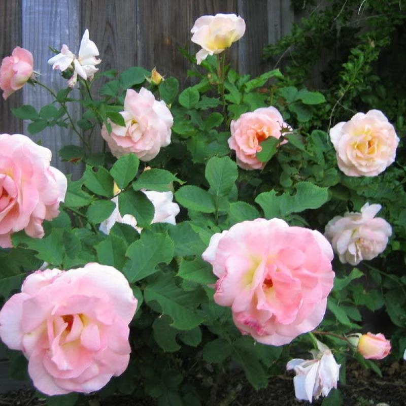 Розы Флиртатиус