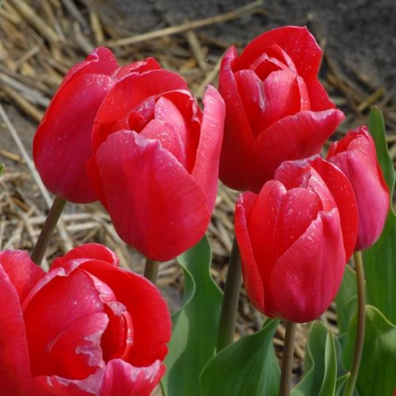 Тюльпаны Хенк ван Ос