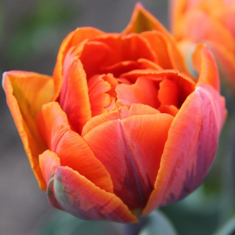 Тюльпаны Оранж Принцесс