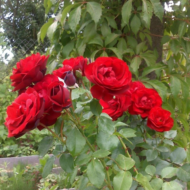 Розы Гранд Отель