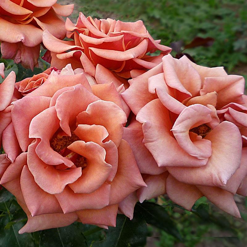 Розы Энн Хендерсон