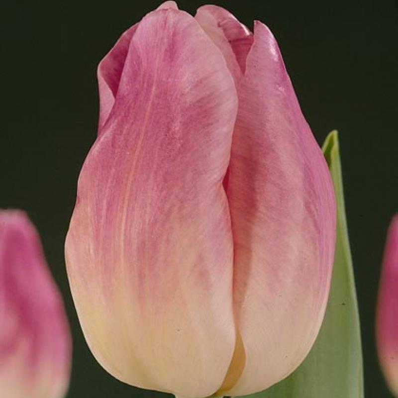 Тюльпаны Эарли Сенсейшн
