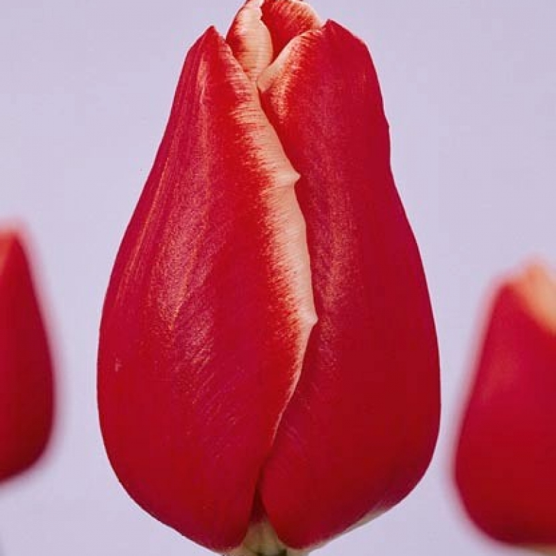 Тюльпаны Ацебер