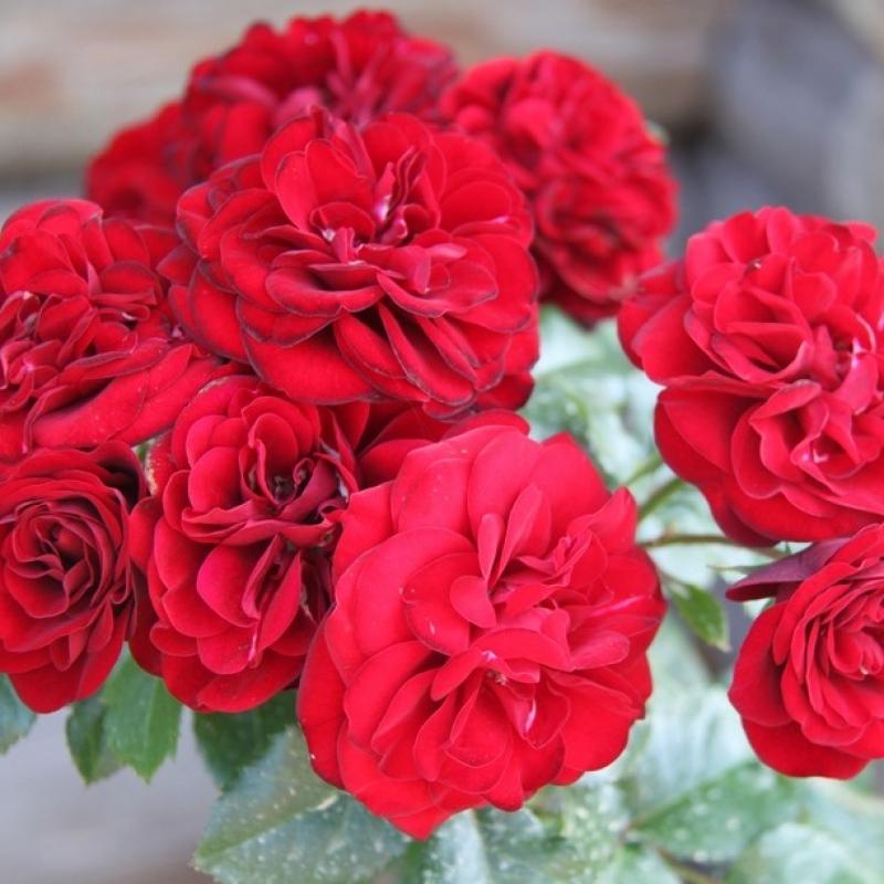 Розы Лаваглют