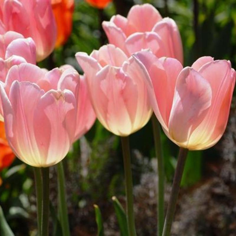 Тюльпаны Бьюти Квин