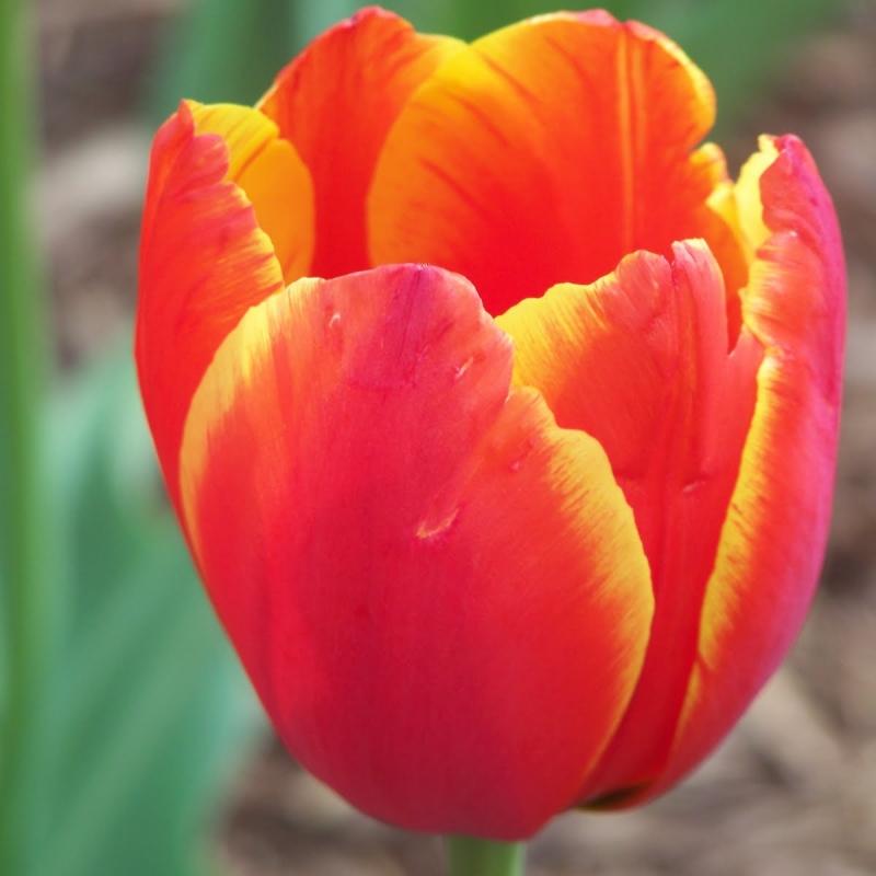 Тюльпаны Лав Сонг