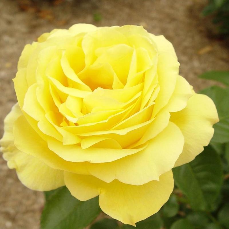 Розы Сувенирс де Марсель Пруст