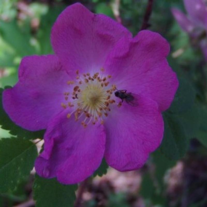 Розы Аляска