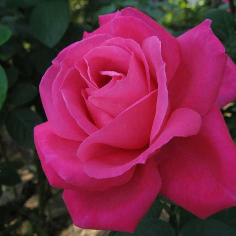Розы Мариа Каллас