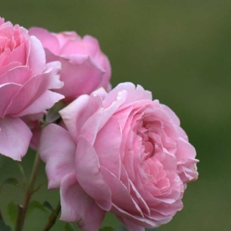Розы Дитер Мюллер