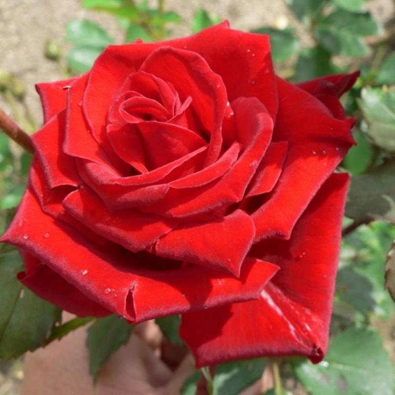 Розы Кастелла