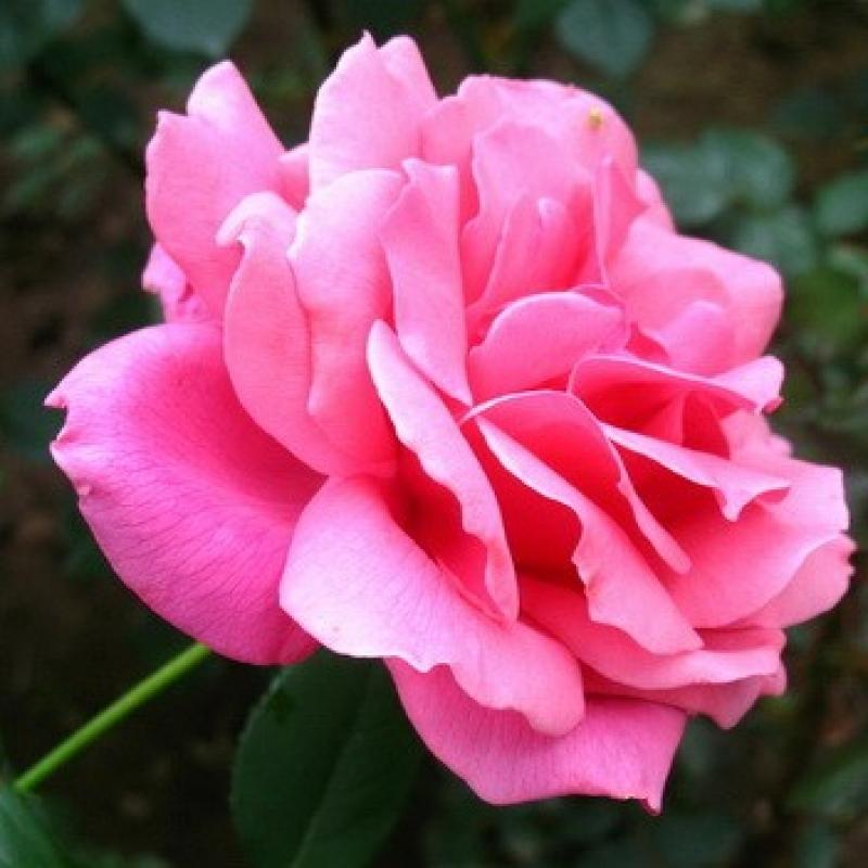 Розы Куин Элизабет