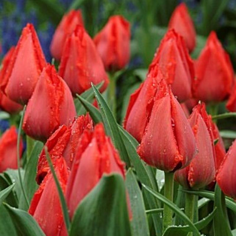 Тюльпаны Принцесс Шарманте